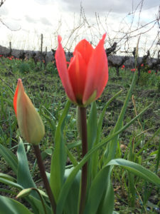Tulipes sauvages - Vignobles Maurin